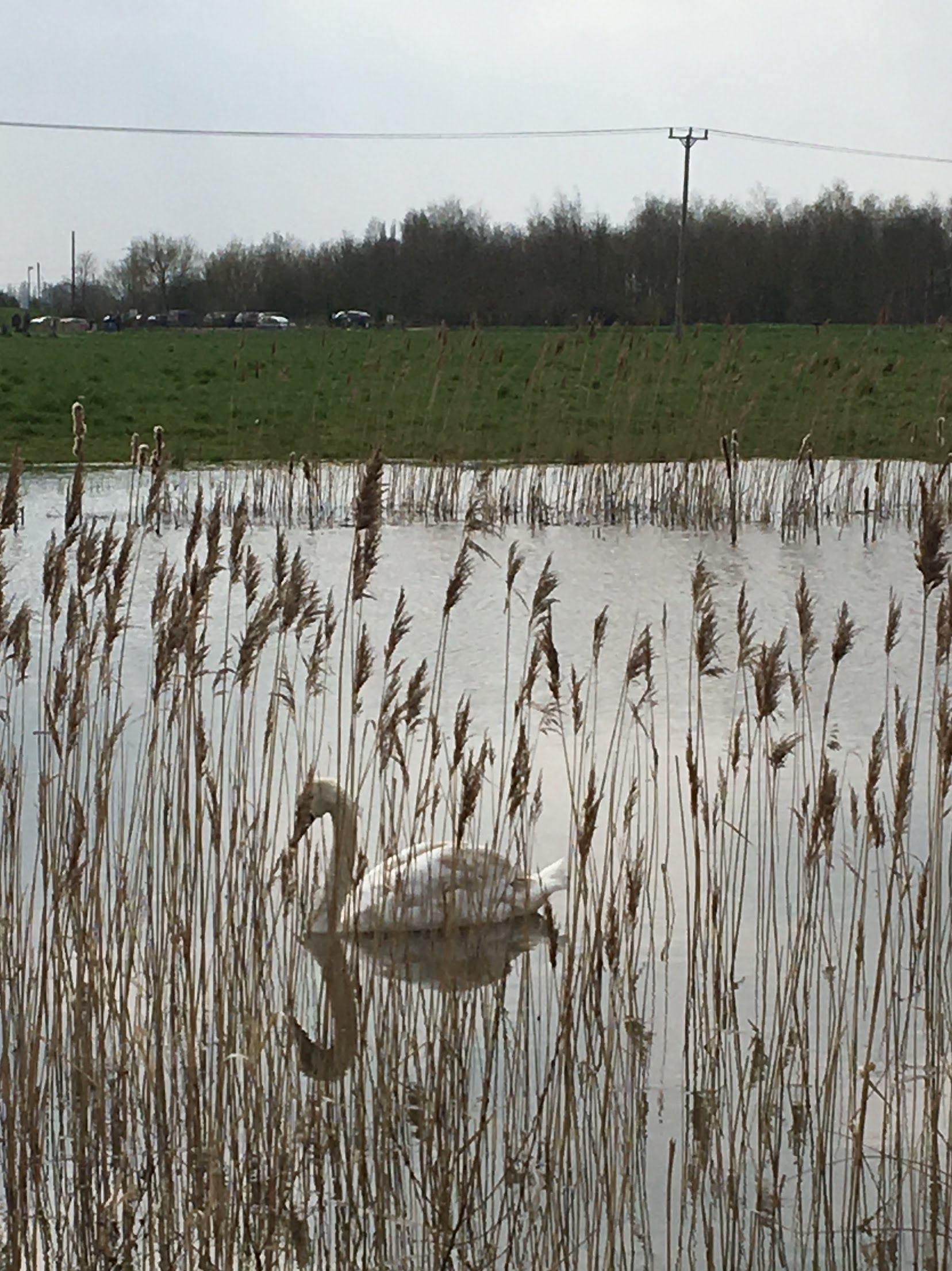 First swan on the pond