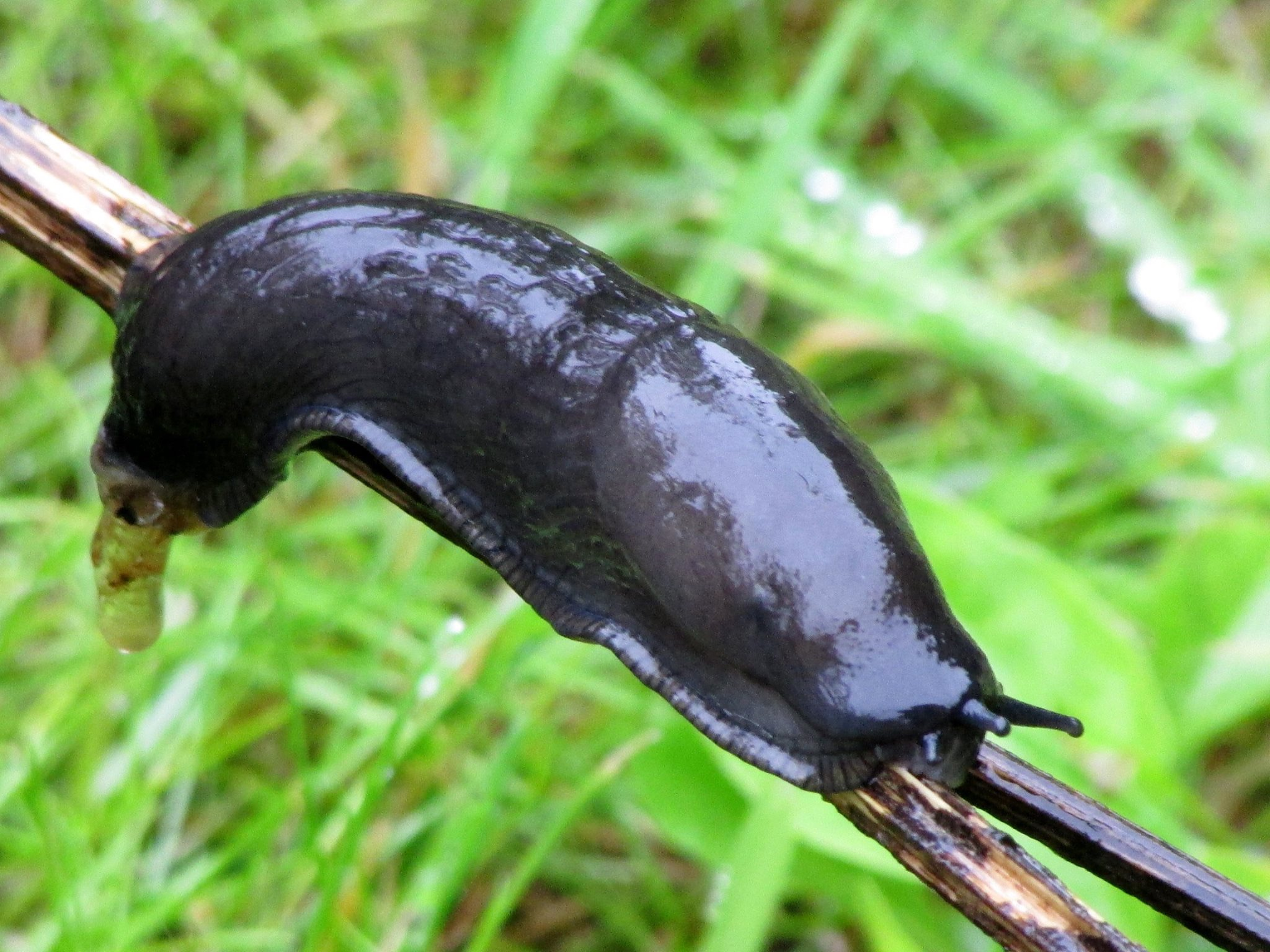 Perfect weather for slugs