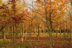 Pruned Beech Wood