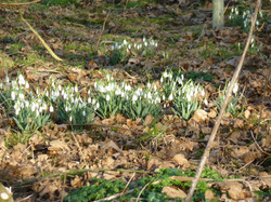 Snowdrops  -spring is on the way
