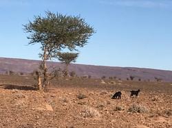 Tamaris desert MHamid Maroc.jpg