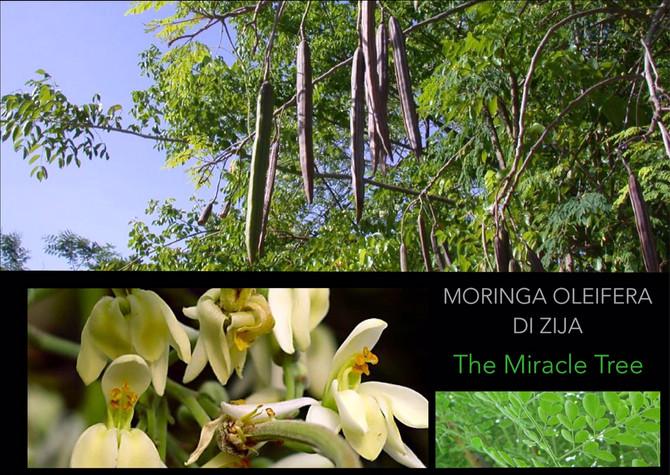 Moringa Oleifera la Conosci?