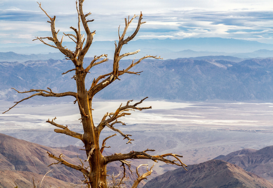 An Ancient Bristlecone Pine From the Pan