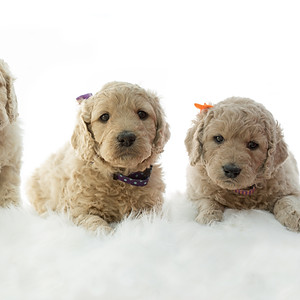 Golden Doodles - Final images