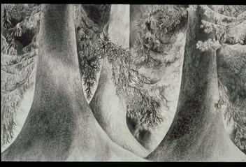The Tree Project Alaskan Cedars