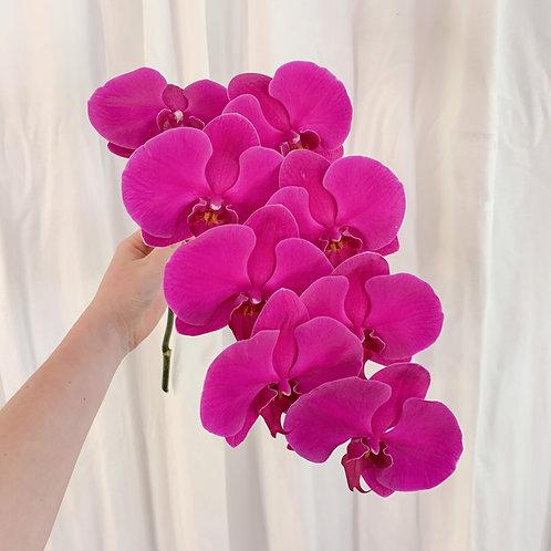 Vibrant Single Stem Phalaenopsis Orchid