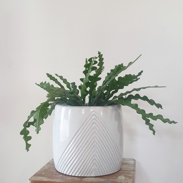 Potted Rhipsalis