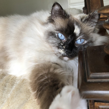 Top 10 Cat Breeds for a Paw-sitive Renting Experience