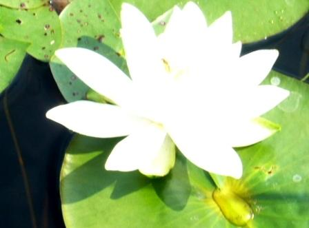 photograph pond lily