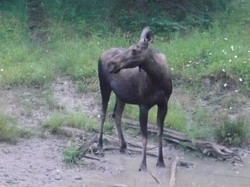 photograph moose
