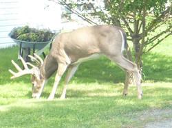 photograph deer