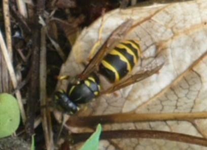 photograph wasp