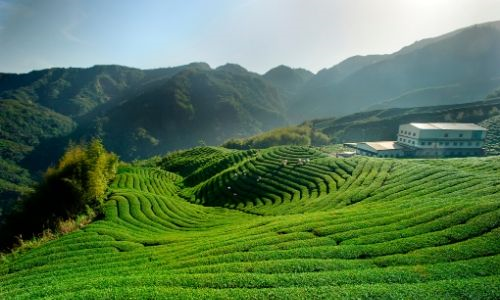 Why is Sencha green tea so special and how do you make it?