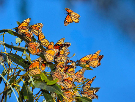 Monarch Butterflies in Decline: The Use of Neonicotinoids in Agricultural Practices
