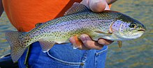 Female Rainbow Trout inhand