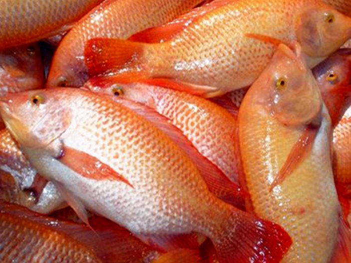 Red Carp - Tilapia