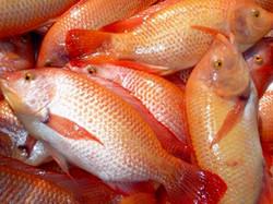 Red Carp - Tilapia