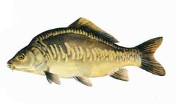 Mirror-carp