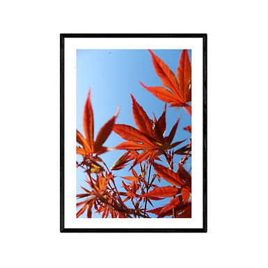 Japanese Maple Photo Print