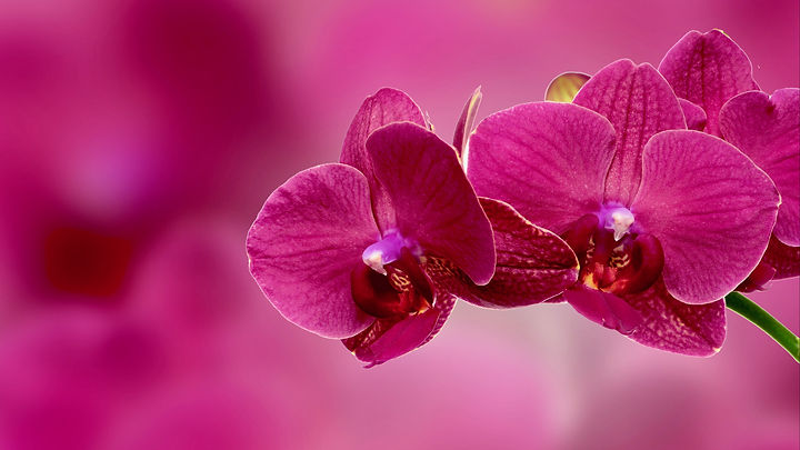 orchid-flower-wallpaper.jpg