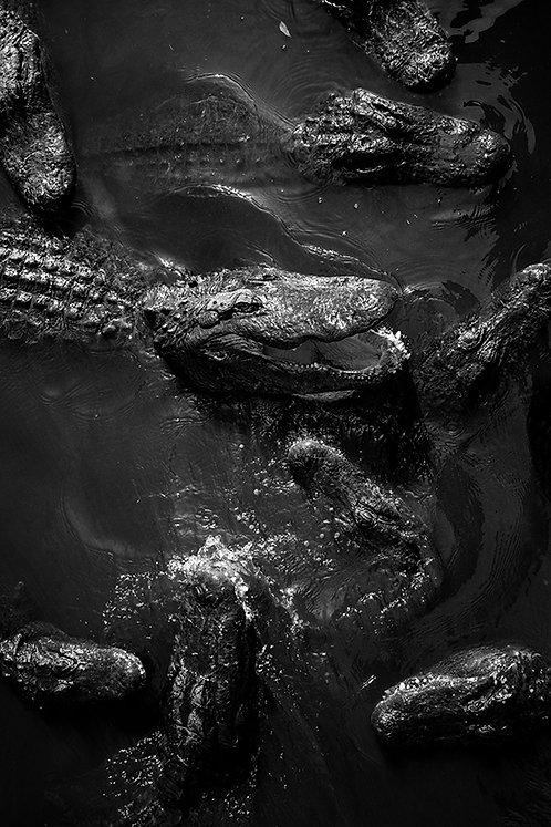 The Crocodilian Order  | Print