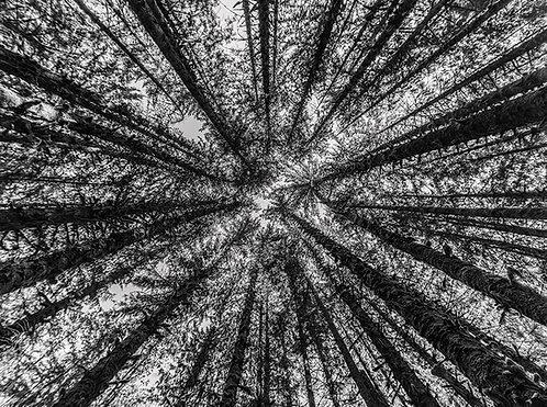 Canopy  | Print