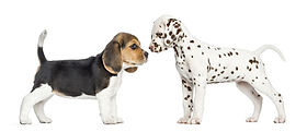 Beagle-dalmation-pups.jpg