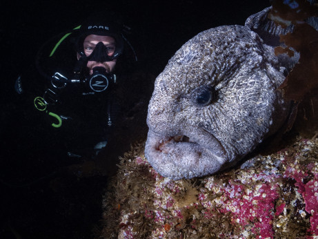 Incredible wolf eel encounter