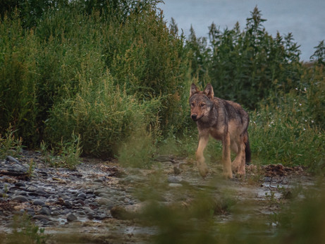Filming the Secluded Life of Coastal Wolves