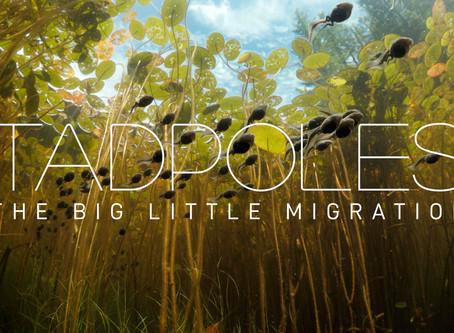 TADPOLES: The Big Little Migration