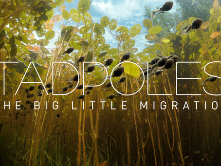 TADPOLES: The Big Little Migration