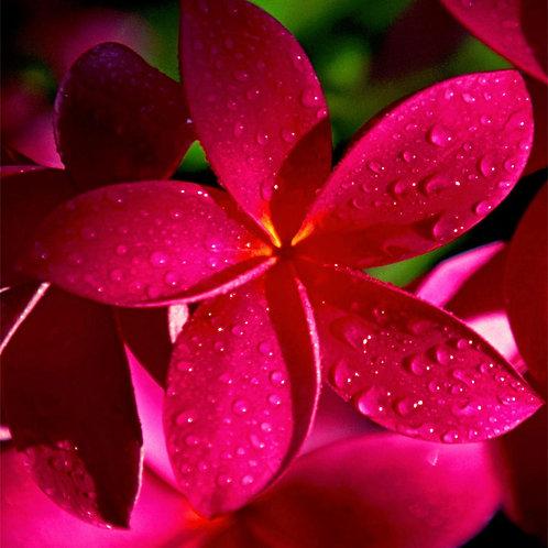 Pink Frangipani (Egyptian): HEART FULL OF LOVE