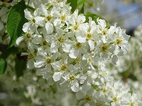 Bird Cherry LightBringer flower essence