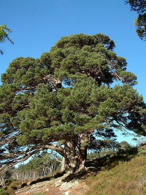Grandmother Pine: EMPOWERED FEMALE