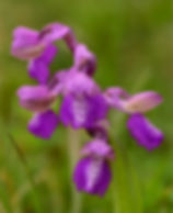 An image of the Green-Winged Orchid Essence for connecting with your intuitive abilities.