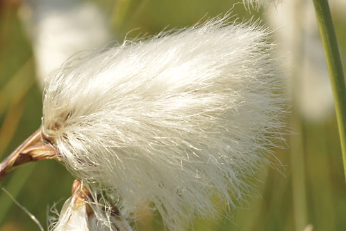 Cotton Grass: SPIRITUAL FIRST AID