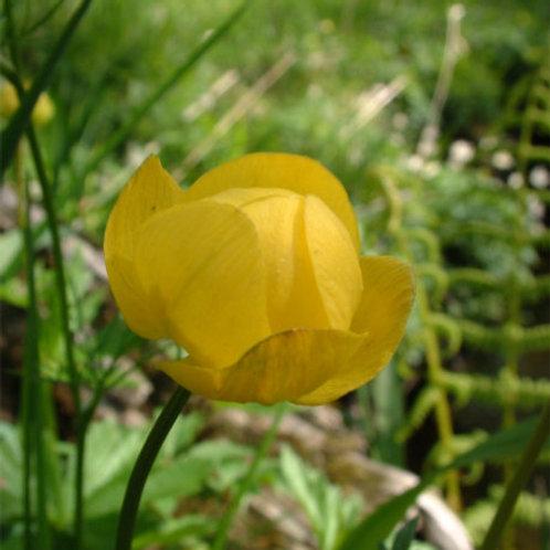 Globeflower: RESPONSE-ABLE