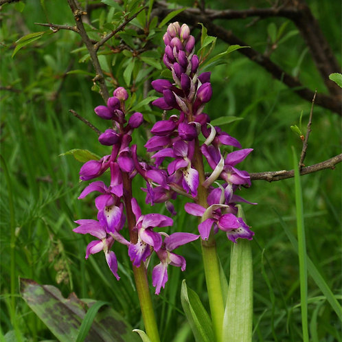 Early Purple Orchid: INTEGRATION