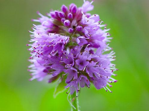 Water Mint: TRUST AND EASE