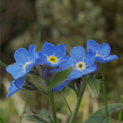 Alpine Forget-Me-Not: DIVINE LOVE