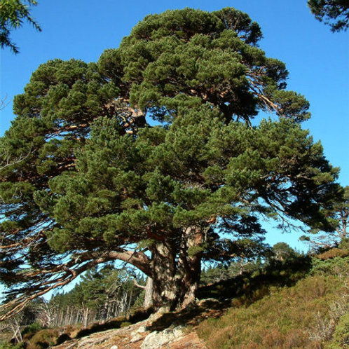Scots Pine Combination: SETTLING IN