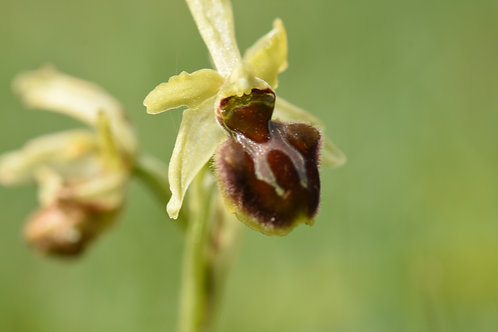 Early Spider Orchid:TRANSFORMATION