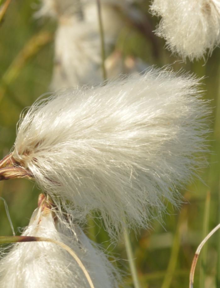 cotton grass LightBringer Essence for spiritual support