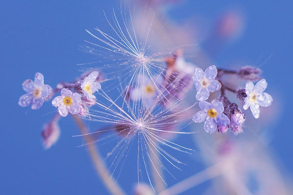 forget-me-not-4184594_1920.jpg