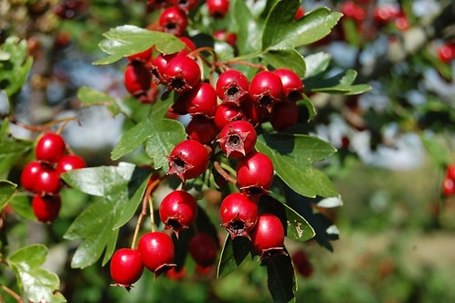 Hawthorn Berries: FRUITION