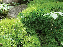 Thyme Moss Essence for Regenerating your energyfield