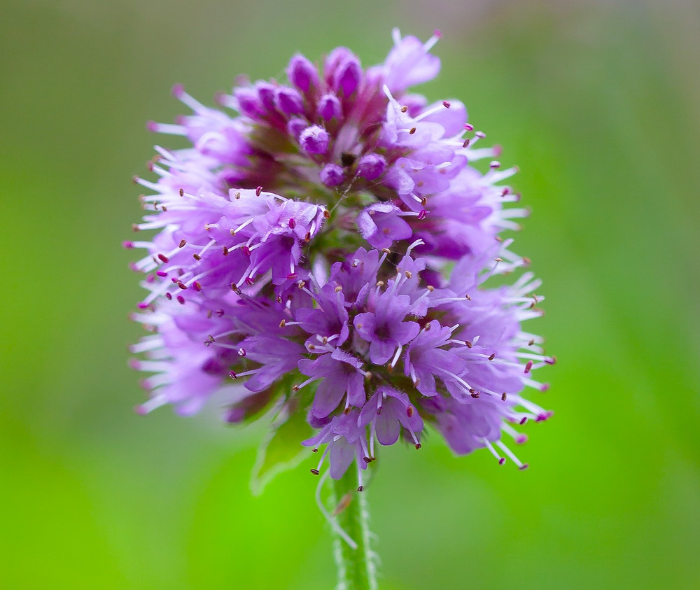 Water Mint reminds us to relax, let down our defences, untie our knots and trust