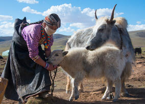 Gama's mother with a baby Yak