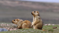 Marmots, one of the keystone creatures on the Plateau