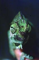 A forest Chameleon